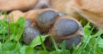 Jak na psí pedikúru