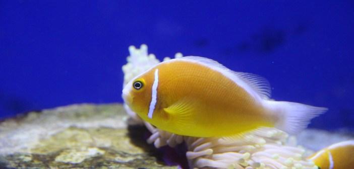 Klaun žlutý – krásná rybka, kterou může chovat každý