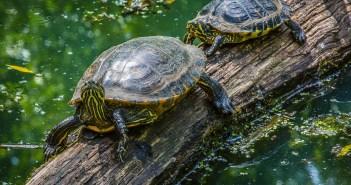 Než si pořídíme vodní želvu…