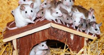 bílé myšky jako první mazlíčci pro děti
