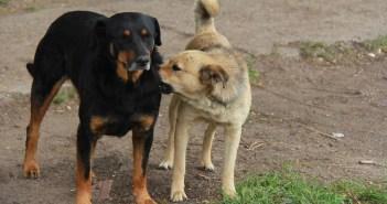 tři psí plemena, která ochrání váš majetek