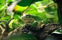 vybíráme druh žáby pro domácí chov