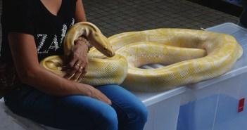 Kobra královská jako nejjedovatější had na světě. Co jste o ní nevěděli?