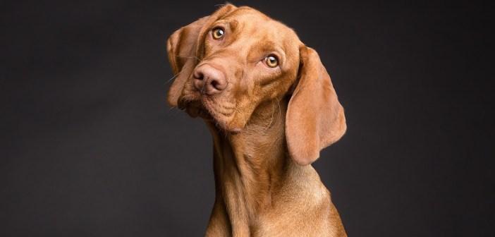 I psi se mohou potýkat s lupy. Proč se u psů objevují?