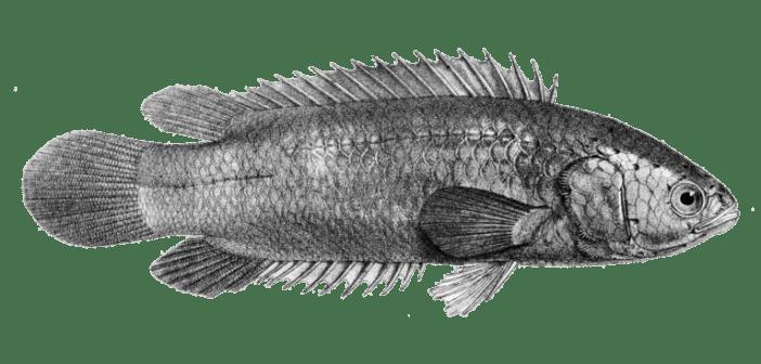 Lezoun indický jako vytrvalá ryba, jejíž chov je poměrně obtížný