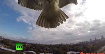 Halcón peregrino, atacando a unos aviones radiocontrol