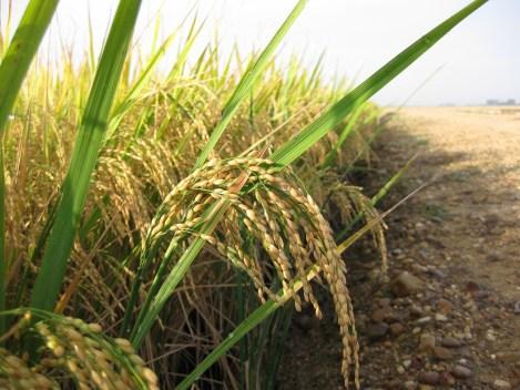 arroz (3).jpg