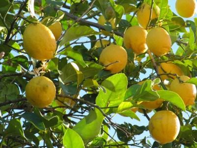 limonesIMG_5742.jpg