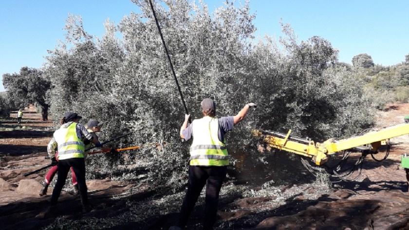 Recolección olivar