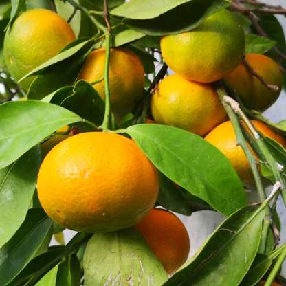 Mandarinas 2019-11-04