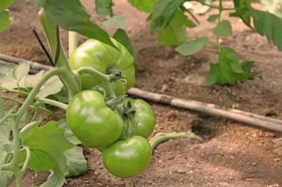 Tomates IMG_2090