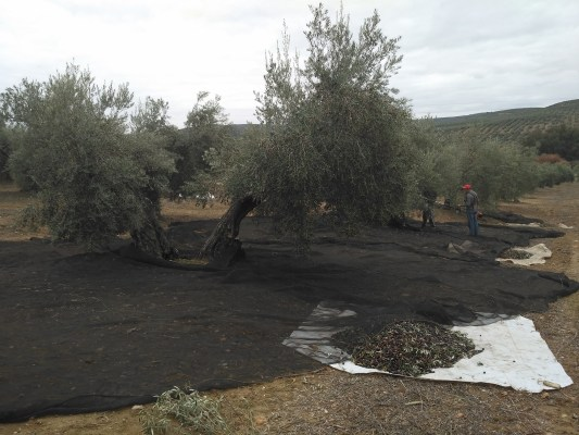 recoleccion olivar
