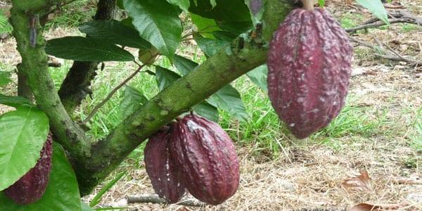 chocolate de Ecuador