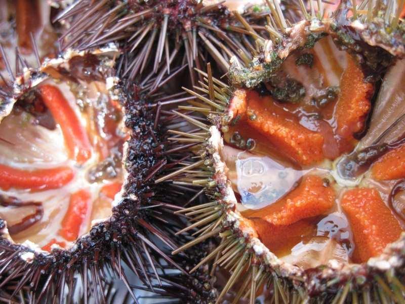 erizos de mar del cantábrico