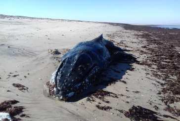 Young whale dies after washing ashore near Swakopmund