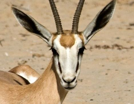 Namibia gets greenlight for Springbok meat export to EU