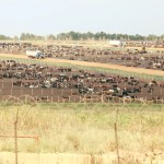 Cattle movement still hectic