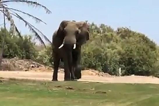 Christmas elephant settles in