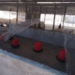 Thieves get away with 68 chickens