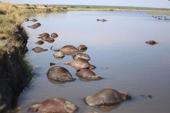 Dead buffaloes cause for concern