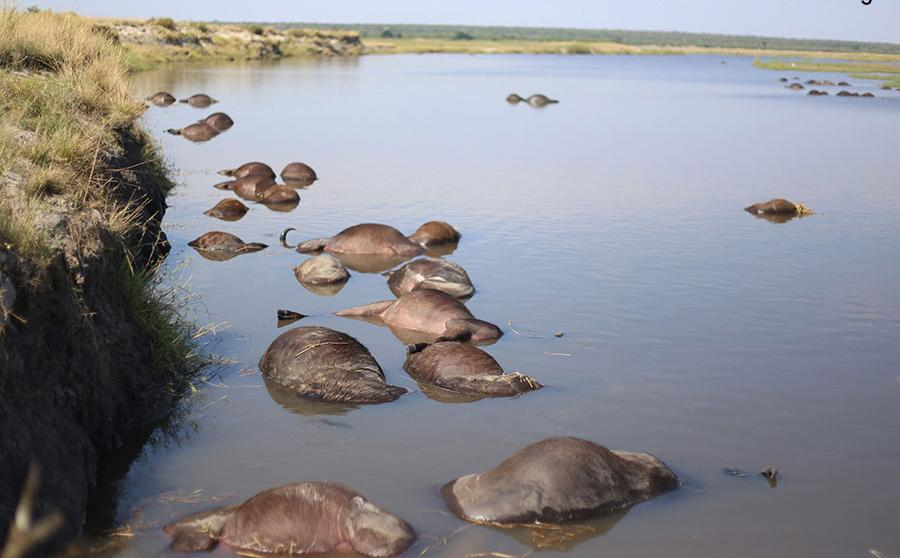 Dead buffaloes cause concern investigation launched deaths floating Kwando River Namushasha Lodge