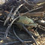 Kunene crocodiles decimated by indiscriminate killing