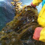 Huge kelp farm will bring new opportunities
