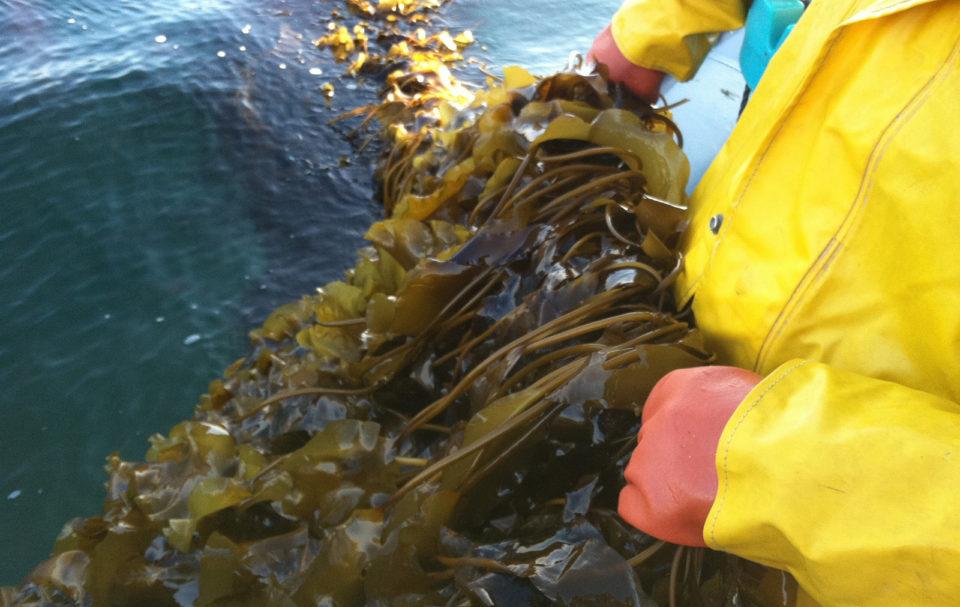 Huge kelp farm new opportunities largest investors invest billion Namibia world largest