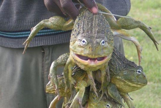 Frog catcher caught violating the curfew