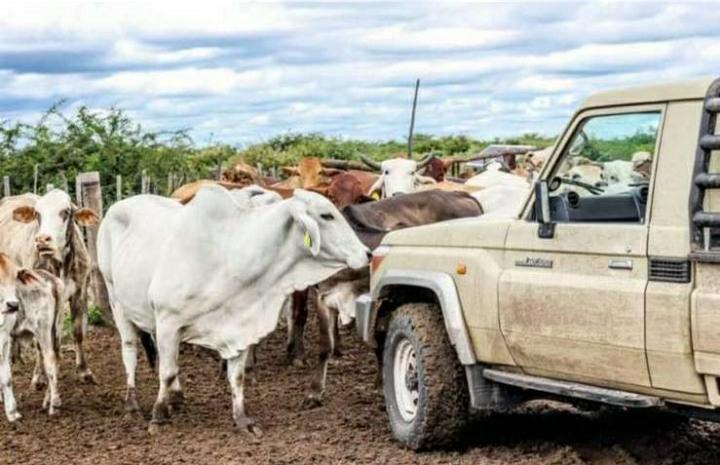 Farmers recovery auction prices cattle farming operations livestock production