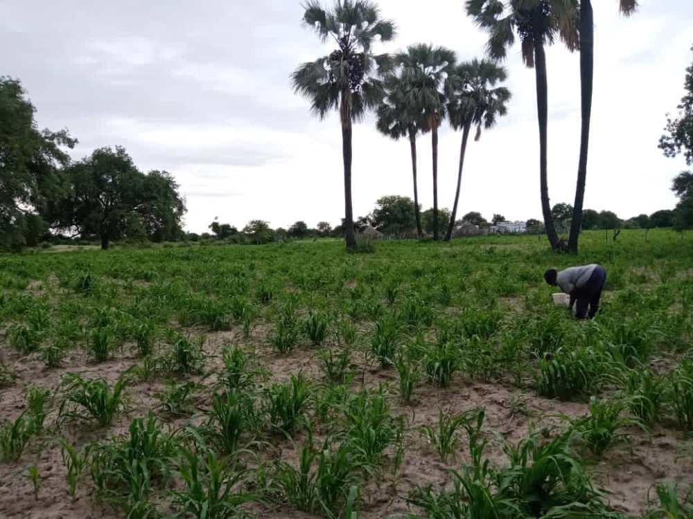 Farmers bumper harvest northern regions ploughing mahangu fields