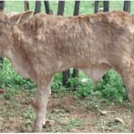 Lumpy skin disease detected in Omaheke