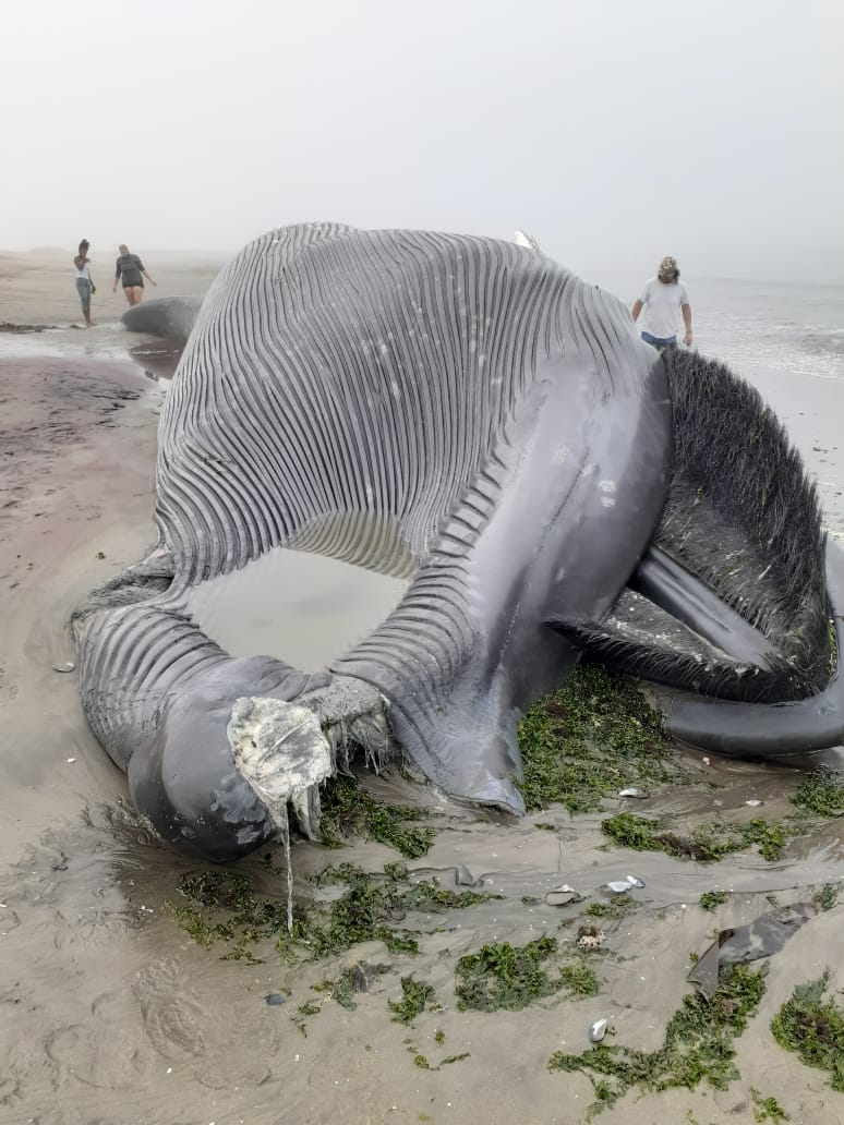 blue wounds carcass whale washed ashore Dolphin Beach Walvis Bay animal died ocean