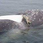 Unusual whale found floating in the bay