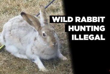 Wild rabbit hunting illegal