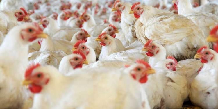 Minagri suspende por 90 días el ingreso al Perú de importaciones avícolas chilenas