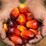 Proponen garantizar semillas de calidad para investigación en materia de palma aceitera