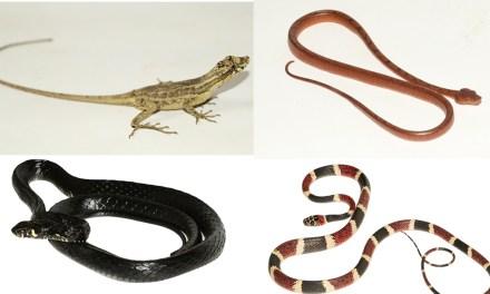 Estudio presenta los primeros registros de cuatro especies de reptiles en la provincia del Guayas