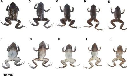 Se descubre una nueva especie de rana en Imbabura, Ecuador