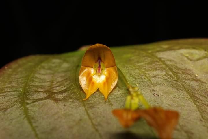 """""""Lepanthes Tulcanensis"""", es la nueva especie de orquídea en honor al cantón tulcán"""