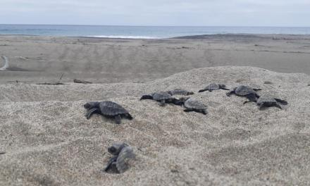 Más de cuatro mil tortugas nacieron en las playas manabitas