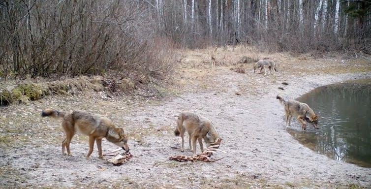 A 35 años de Chernóbil, la zona es un refugio de lobos