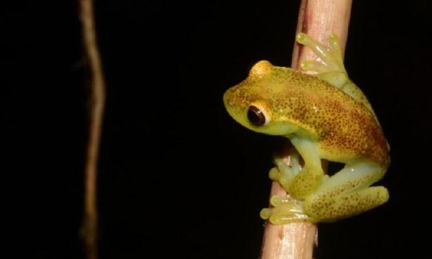 Nueva rana arborícola descubierta en Ecuador se llamará          Hyloscirtus conscientia