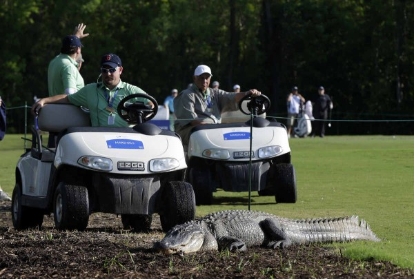alligator_golf_1