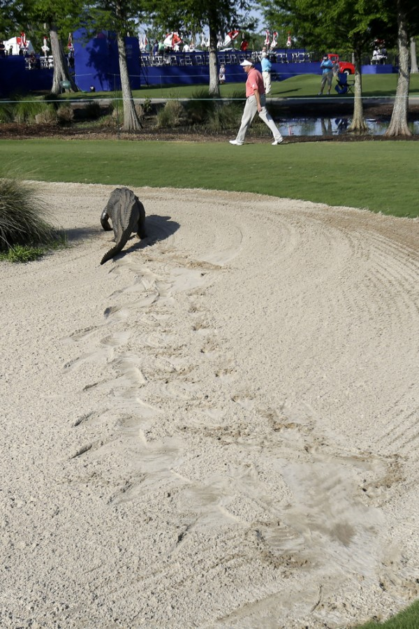 alligator_golf_6