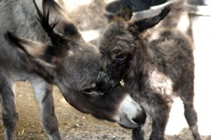Intoxicated-man-rolls-car-wakes-up-in-field-of-donkeys