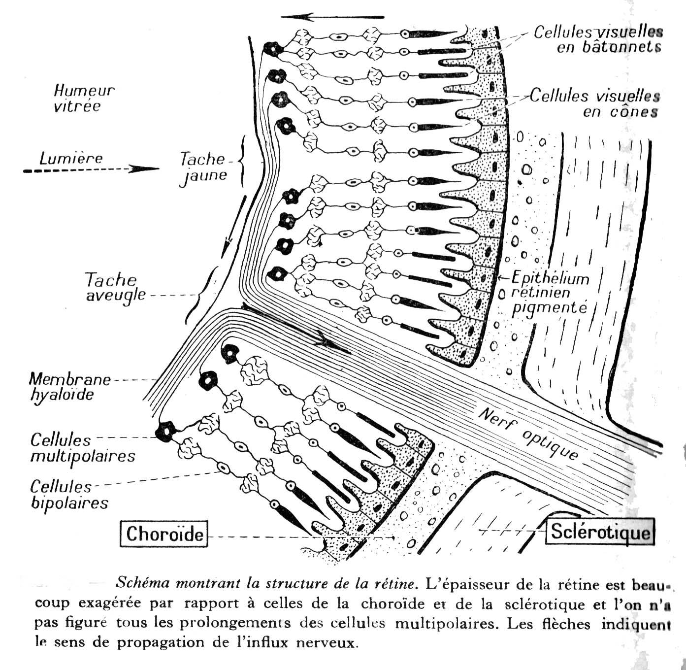 Dessins Scolaires Anatomie Homme
