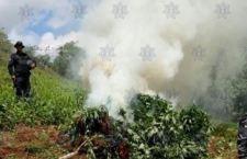 Dos plantíos de marihuana destruidos por la policía en Ejutla