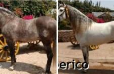 Caballos de Pedro Domecq también fueron víctimas de inseguridad en carreteras Oaxaca-Puebla