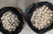 Detiene Policía Estatal a mujer en la Costa, llevaba 2 mil huevos de tortuga